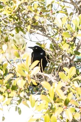 2. Blackbird
