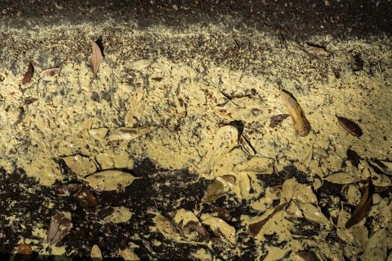 Allergen: Oak Pollen